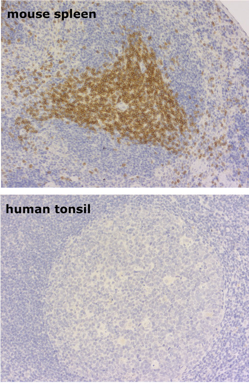 anti-mouse CD3e in mouse spleen and human tonsil
